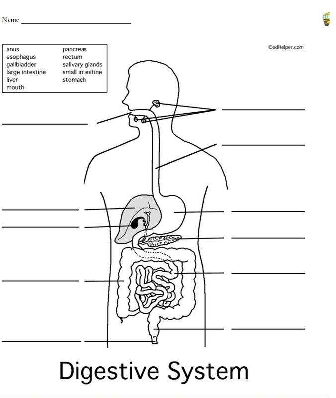 Digestive system worksheet the digestive system ccuart Choice Image
